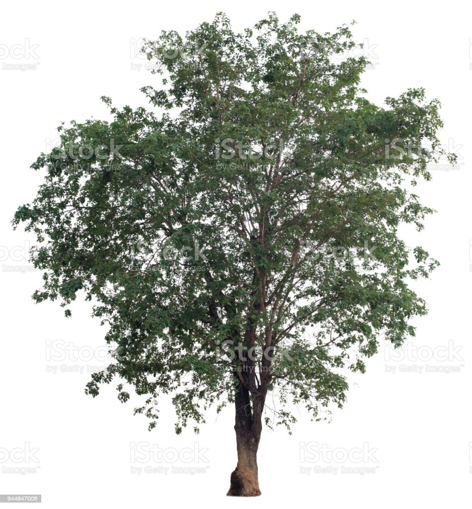 leaf,leaves,brach,tree,isolated,white,background,oak,ash,single,nature,green,branch,stem,large,big,old,natural,grass,plant,wood,environment,forest,ecology,botany,lonely,lone,leafy,foliage,maple,trees,narrow-leafed,garden,tall,summer,canopy,fresh,bright,on stock photo