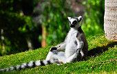 Cartoon monkey lemur vector illustration. Monkey lemur animal and jungle cartoon wild life. Monkey cute types cute primate isolated. Lemur zoo jumping chimpanzee mammal.