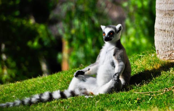lemur mediterar placeras - lemur bildbanksfoton och bilder