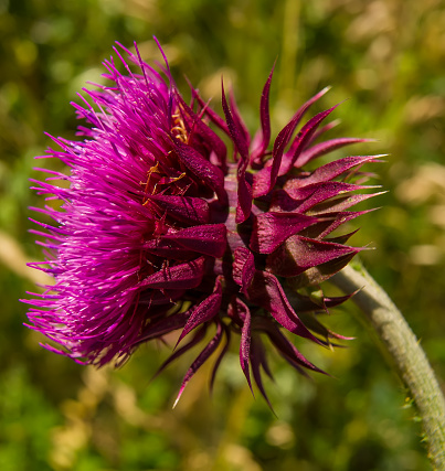 FLOWER OF THISTLE PURPLE COLOR AT THE BLUR BACKGROUND AT THE VILLAGE MEADOW. SUNNY DAY.