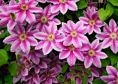 DECORATIVE FLOWERS OF THE CLEMATIS IN THE SPRING GARDEN