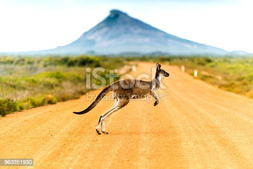 Kangaroo crossing dirt road in Western Australia.