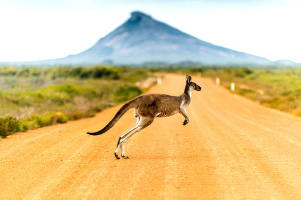 1399 Kangaroo crossing dirt road in Western Australia. australia stock pictures, royalty-free photos & images