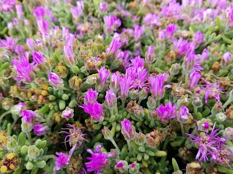 Delosperma Cooperi La Stockfoto en meer beelden van Bloem - Plant