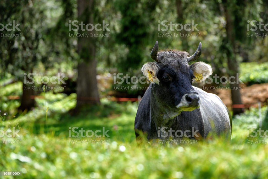COW - foto stock