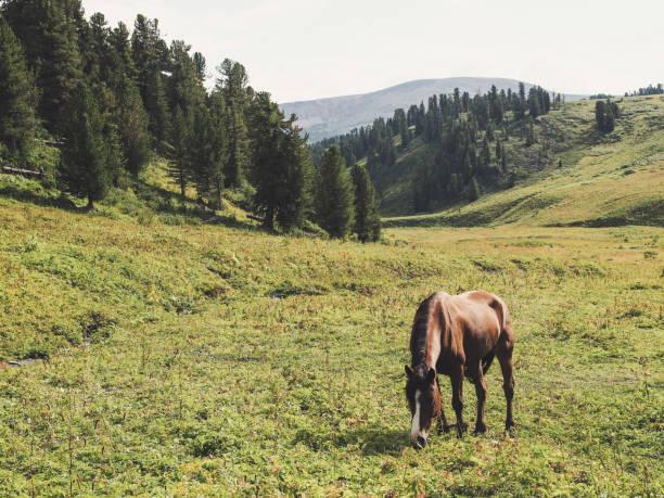 лошадь в горах - państwowy rezerwat przyrody altay zdjęcia i obrazy z banku zdjęć