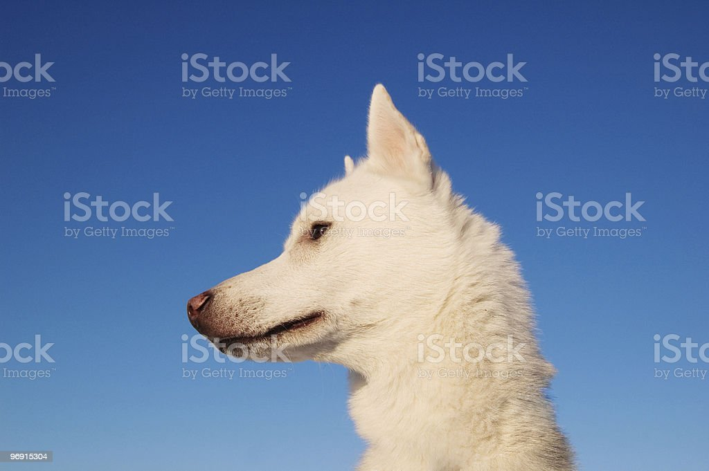 WHITE PUPPY royalty-free stock photo
