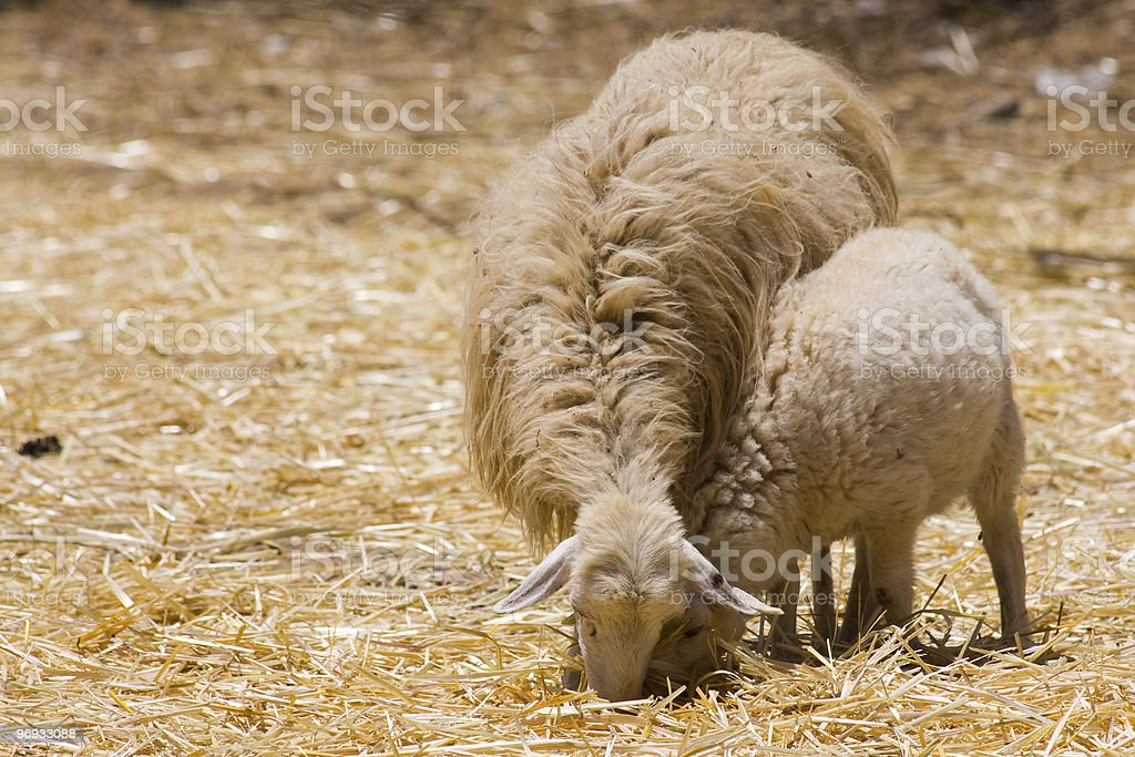 EWE SHEEP AND LAMB royalty-free stock photo