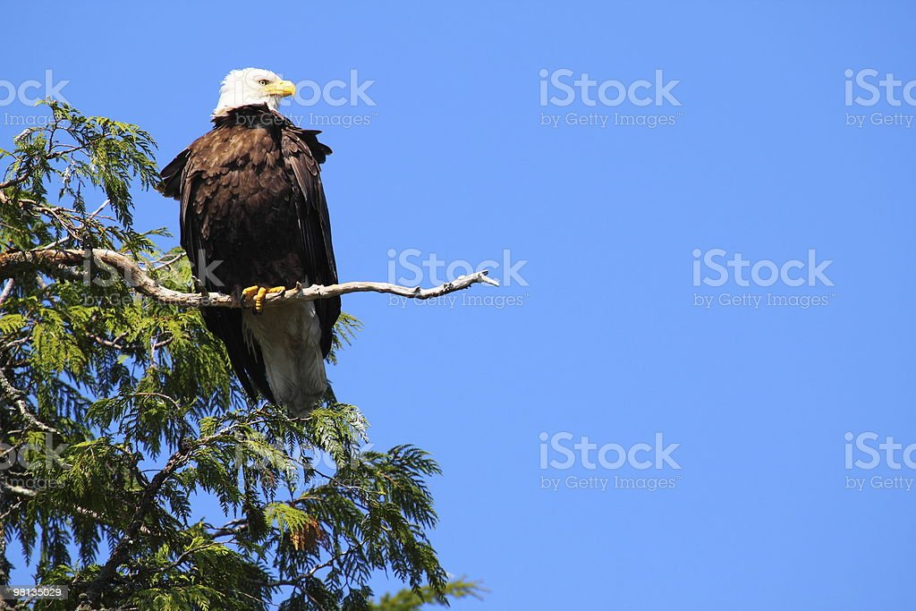 BALD EAGLE IN TREE PROFILE royalty-free stock photo