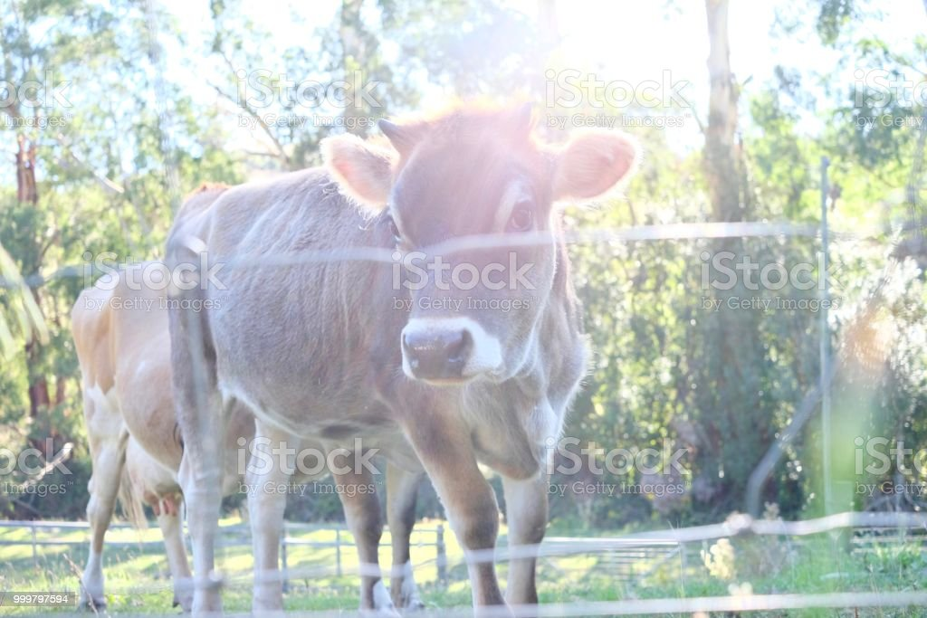 CUTE BABY COW stock photo