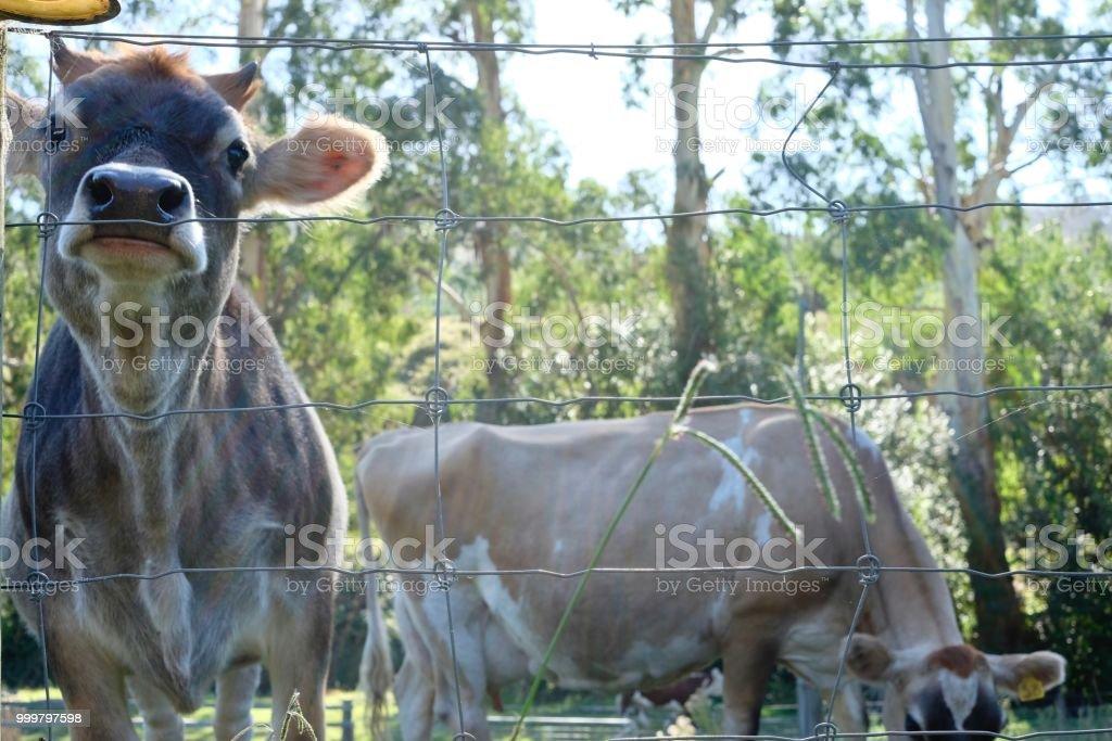 MOO COW stock photo