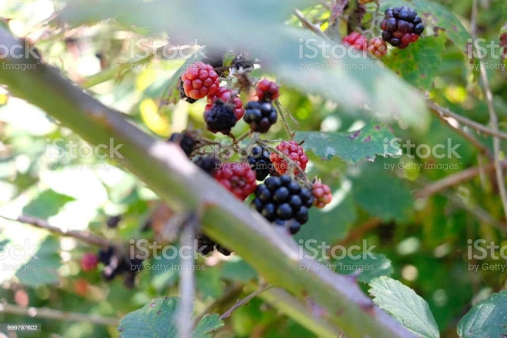 BLACK AND RED BERRIES stock photo