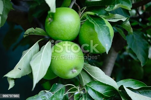 Crisp green apples ready to eat from the tree in Gippsland, Victoria