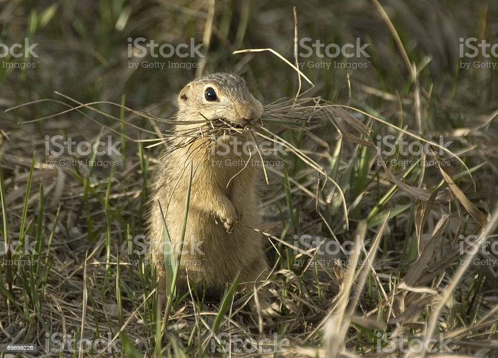 13-Lined Ground Squirrel royalty-free stock photo