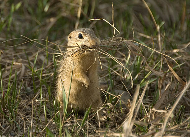 13-Lined Ground Squirrel stock photo