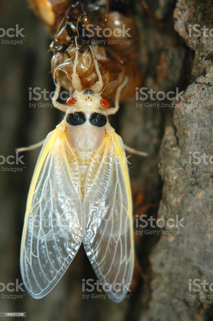 17-year cicada royalty-free stock photo