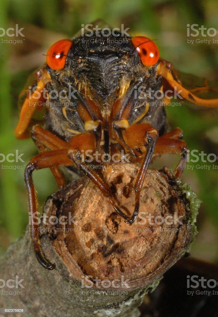 17-year cicada stock photo