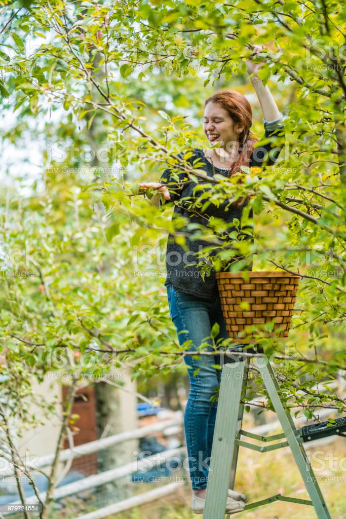 17-years-old teenager girl picking organic pears from the tree in the orchard - foto stock