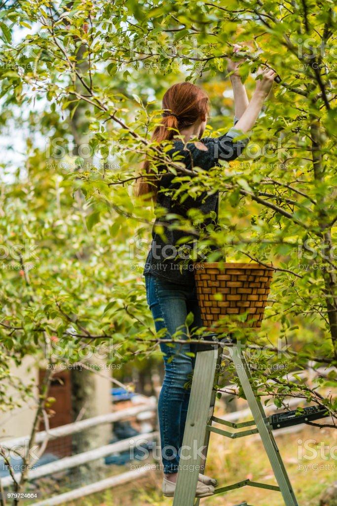 fille d'adolescent de 17 ans, cueillette des poires biologiques de l'arbre dans le verger - Photo