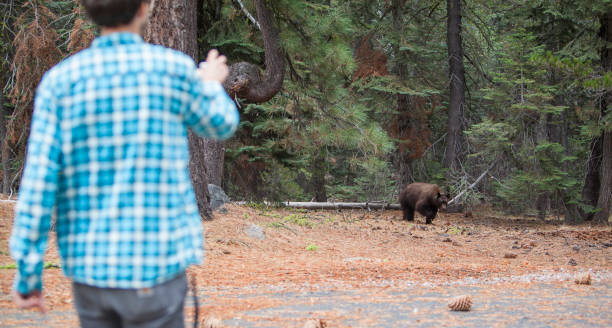 27-years-old man, tourist,  filming the young wild black american bear in the forest in yosemite national park - wildlife conservation stock photos and pictures