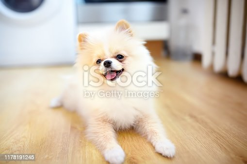 2-month old pomeranian spitz puppy at home. Cute fluffy small dog. Domestic pet