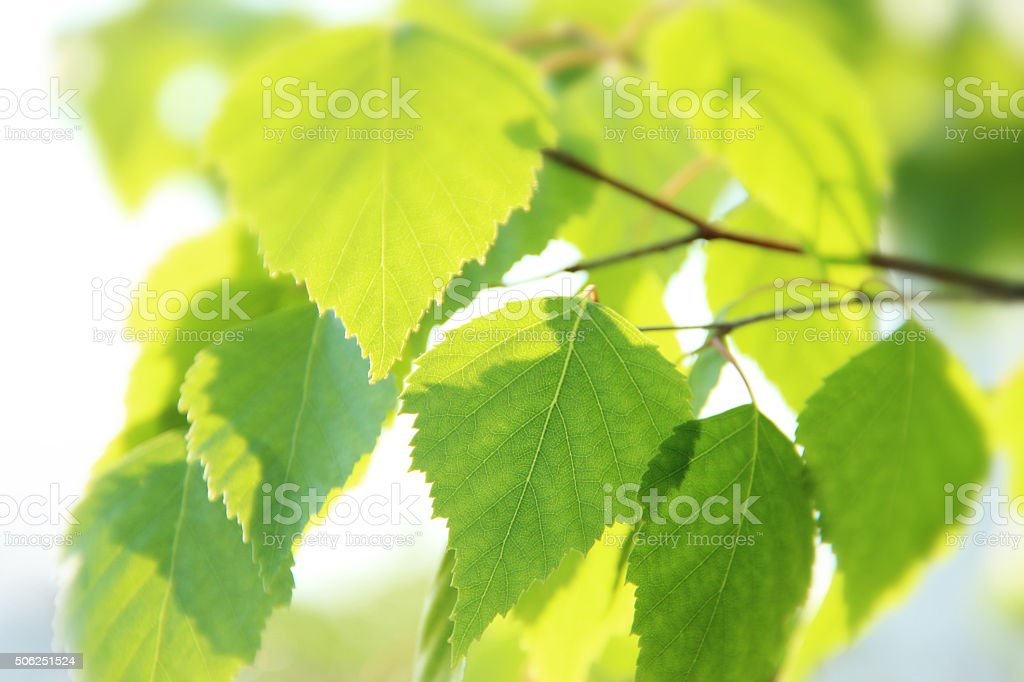 3858_Birch in May stock photo