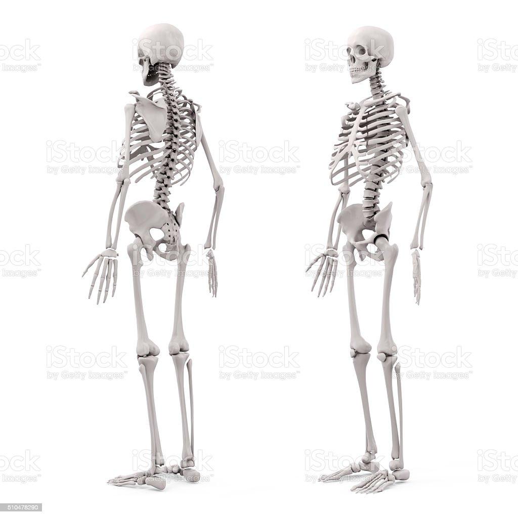 Fotografía de 3 D Esqueleto Humano Sobre Fondo Blanco y más banco de ...