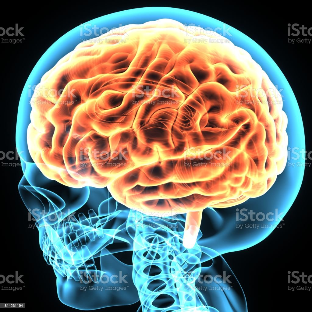 3d illustration brain and skeleton anatomy stock photo