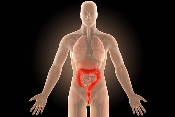 3d illustration human body crohn's colon infection with clipping path. stock photo
