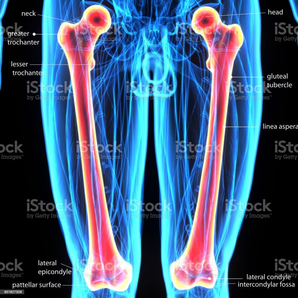 3d illustration human body femurs of a human body parts stock photo