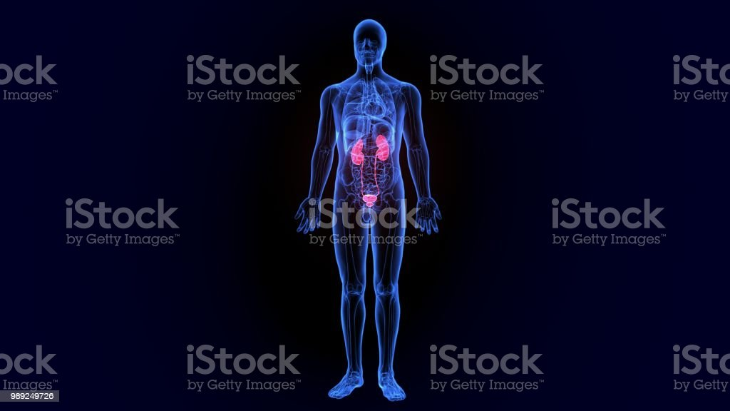 kindeys de corpo humano ilustração 3D de uma parte do corpo humano - foto de acervo