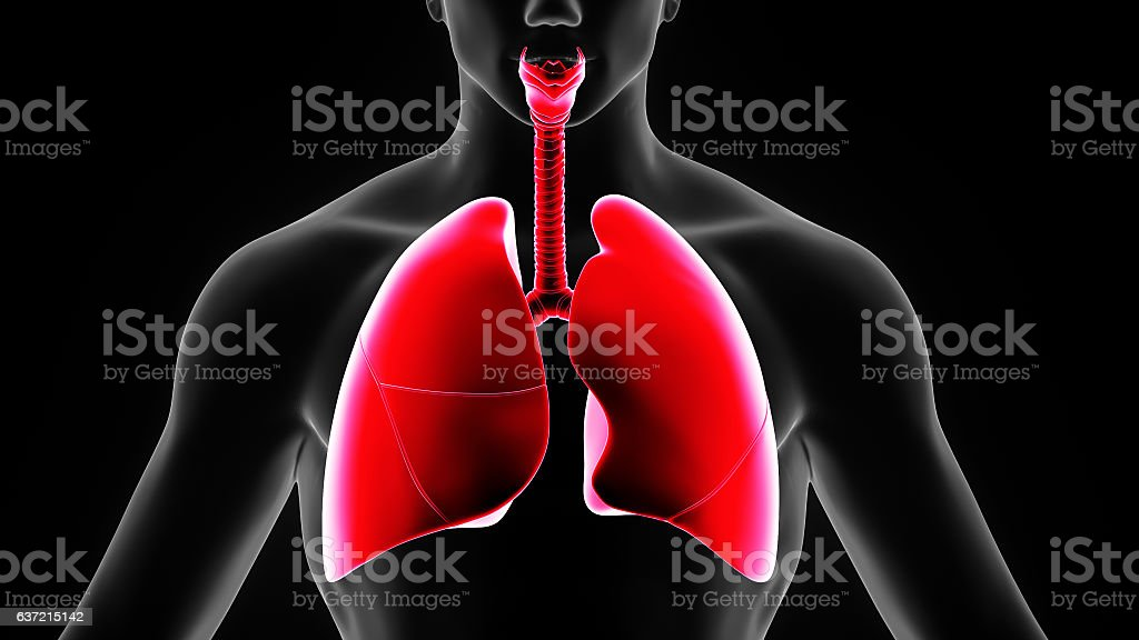 3d illustration human body lungs stock photo