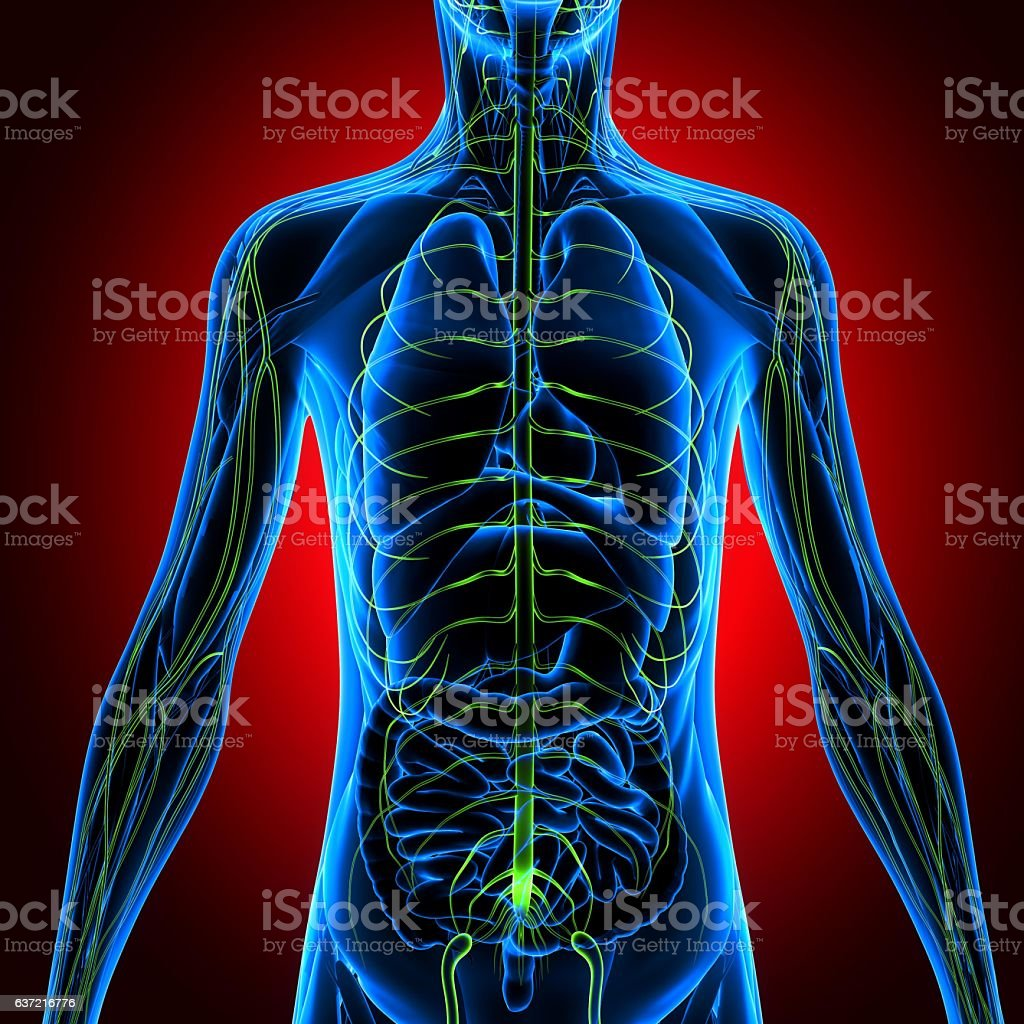 3d Illustration Human Body Nervous System Stock Photo More