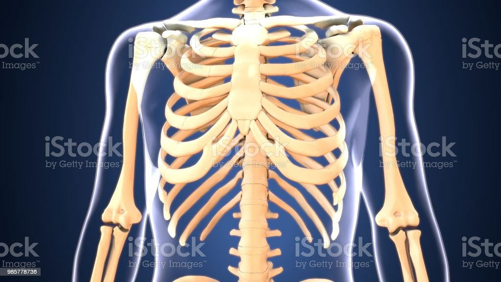3d Illustration Human Body Ribs Cage Of A Human Body Parts Stock
