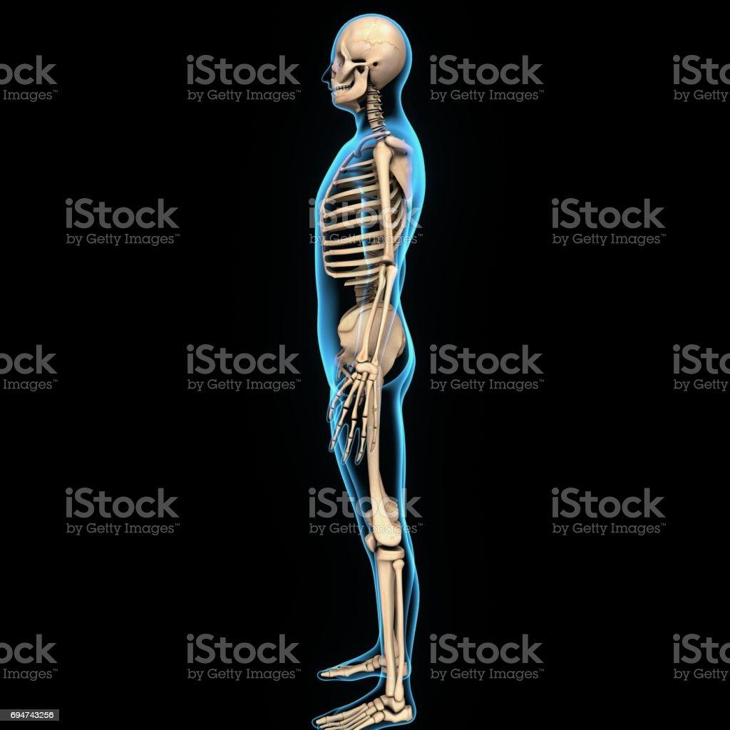 3d Illustration Human Body Skeleton Anatomy Stock Photo More