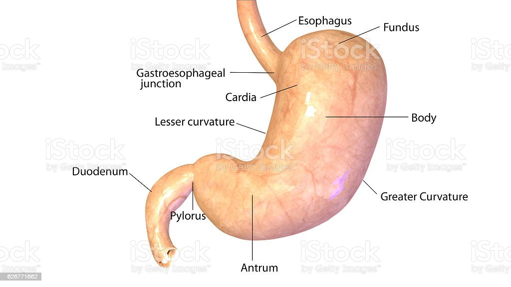 3d Illustration Human Body Stomach Stock Photo More Pictures Of