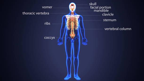 illustration 3d du squelette axial comprennent: crâne, colonne vertébrale et les côtes. - sternum photos et images de collection