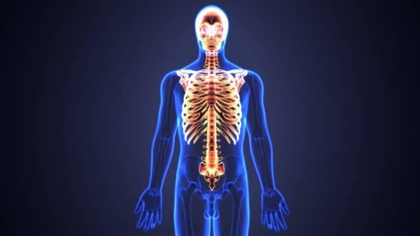 illustration 3d du squelette axial comprennent: crâne, colonne vertébrale et côtes anatomie. - sternum photos et images de collection