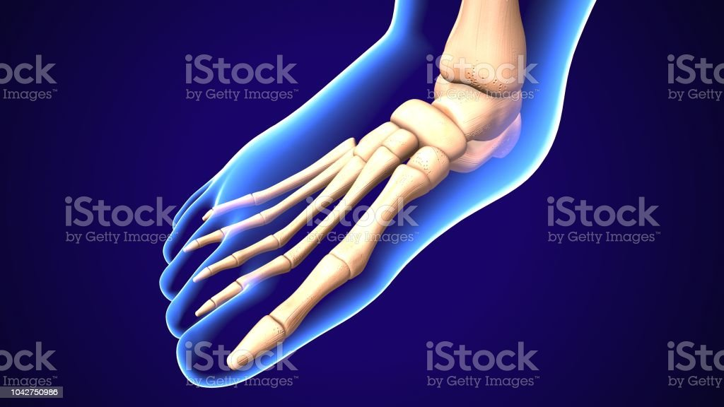 The foot is an anatomical structure found in many vertebrates. It is...