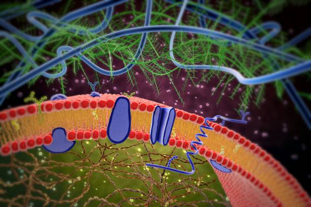 3d illustration of cell membrane and lipid bilayer stock photo