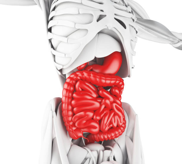 Royalty Free Human Digestive System Pictures Images And Stock