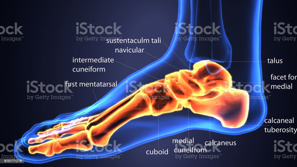 3d Illustration Of Feet Bones Tendons Stock Photo More Pictures Of
