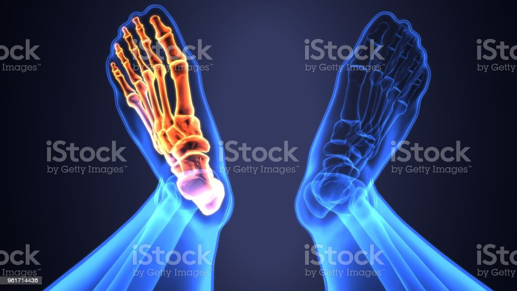 3d Darstellung Der Anatomie Des Fußes Knochen Stock-Fotografie und ...