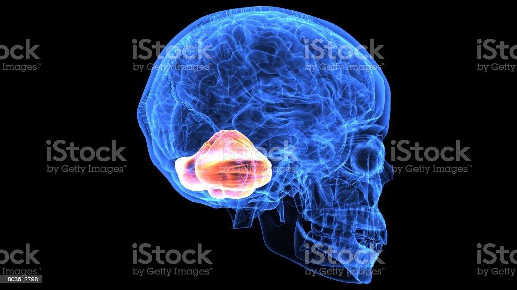 3d Abbildung Des Menschlichen Körperteilen Gehirn Anatomie ...