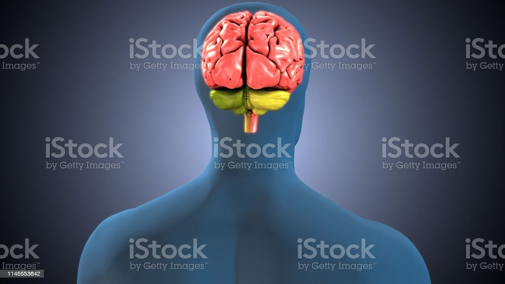 The human brain is the central organ of the human nervous system, and...