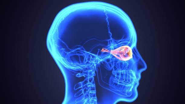 3d abbildung des menschlichen körpers auge anatomie - illustration optician stock-fotos und bilder