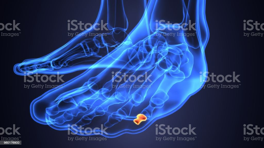 3d Illustration Of Human Body Foot Bone Anatomy Stock Photo & More ...