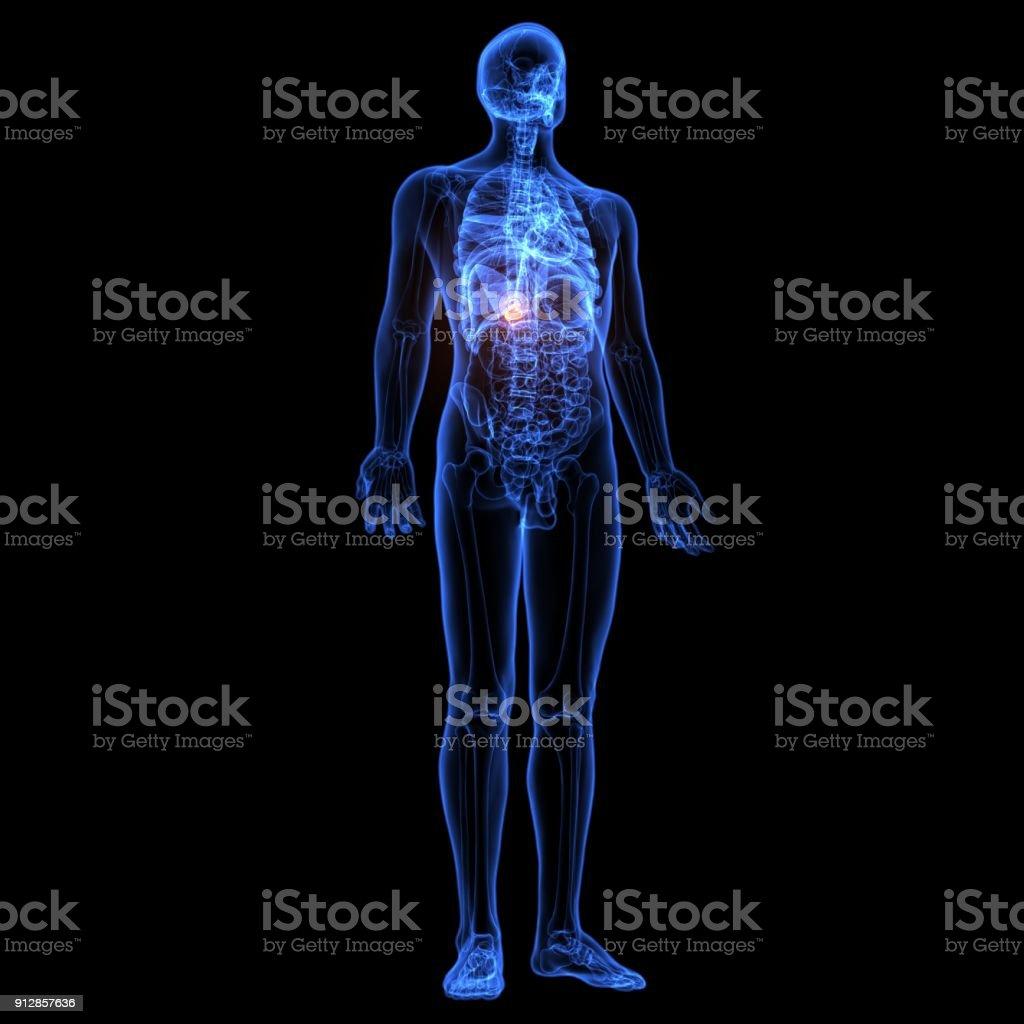 3d Abbildung Des Menschlichen Körpers Gallenblase Anatomie Stock ...
