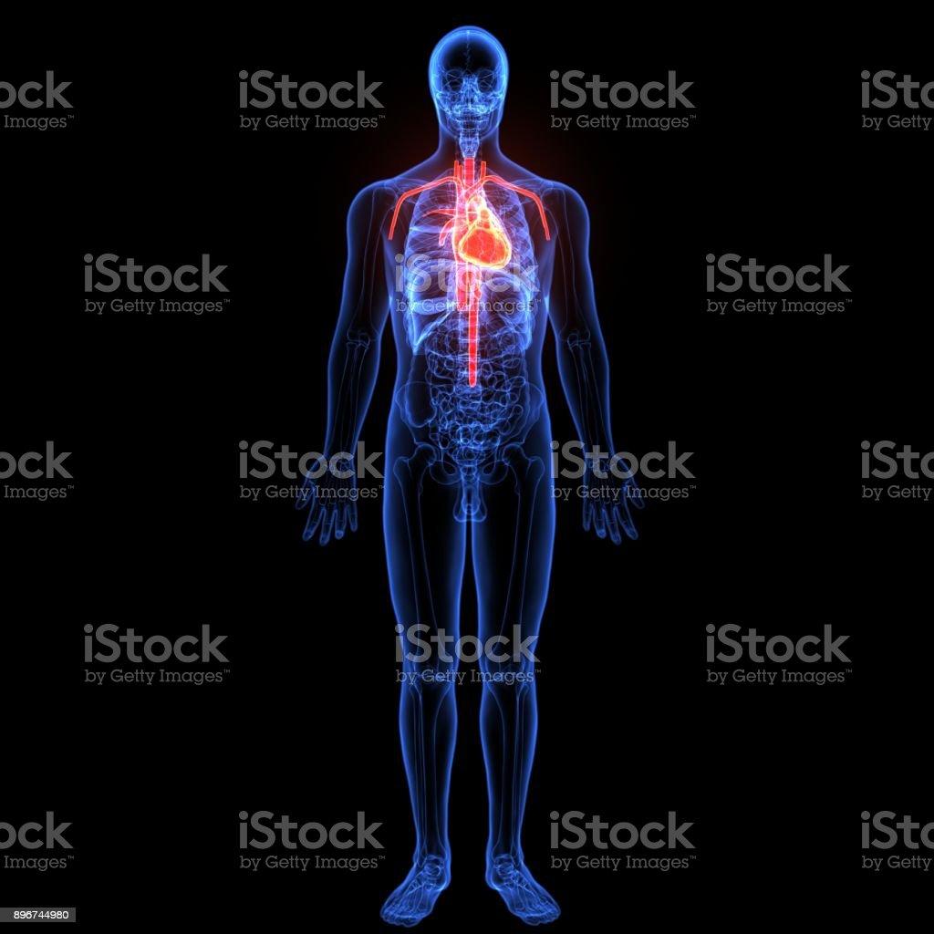 3d Illustration Of Human Body Heart Anatomy Stock Photo & More ...