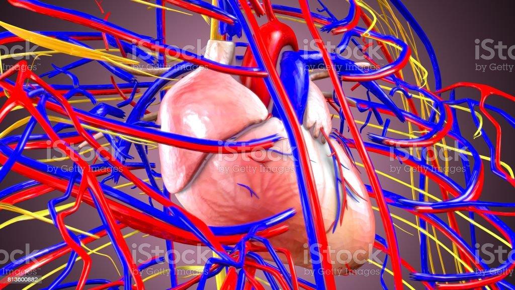 Fotografía de Ilustración 3d Del Cuerpo Humano Corazón Y Venas y más ...